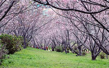 Festa da Cerejeira será realizada a partir do dia 21 de julho